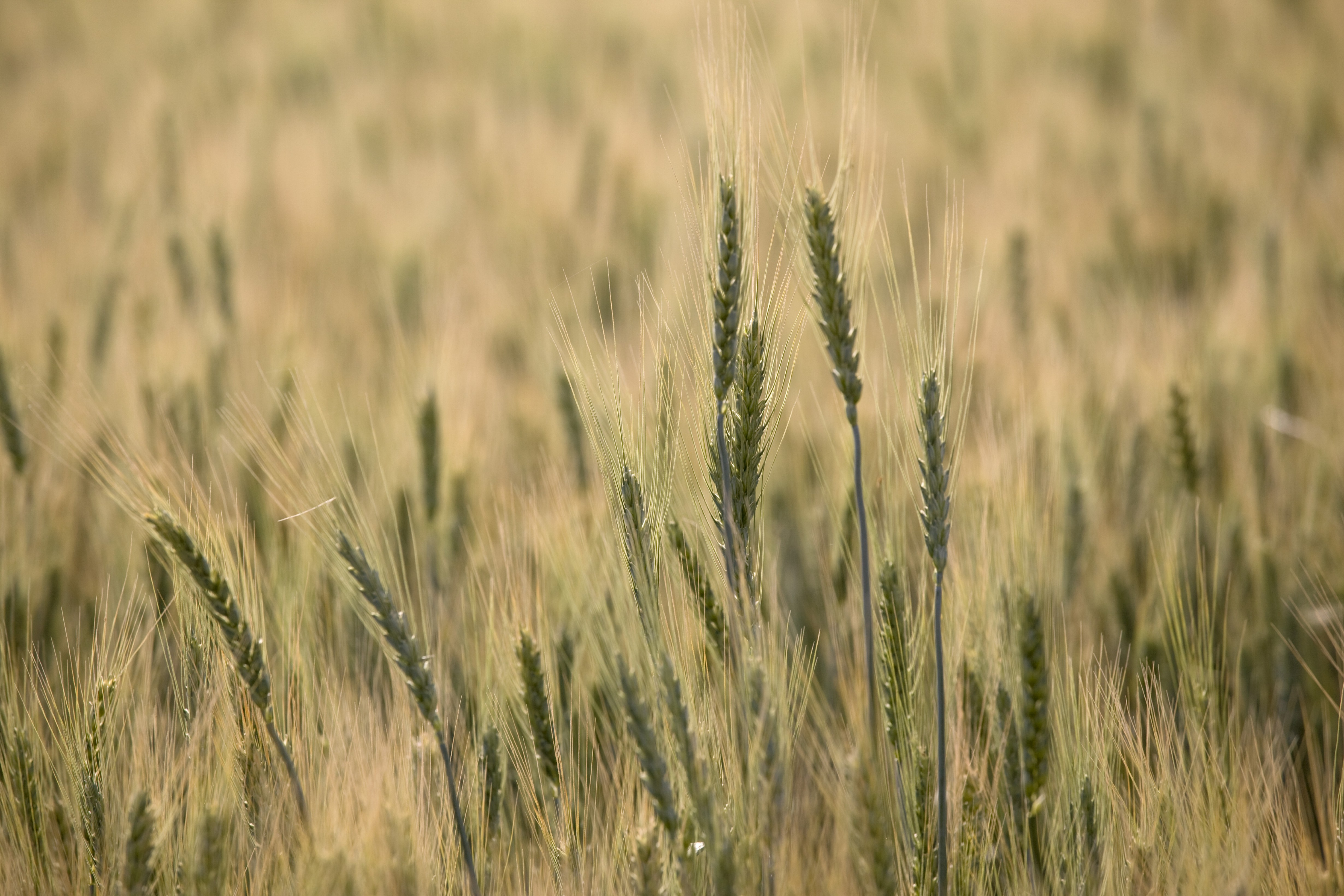 Champ de blé Moisan